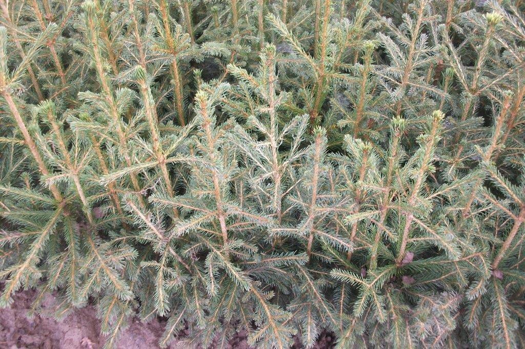 200 Stück Picea abies - (Rotfichte - Gemeine Fichte)- Wurzelware 40-70 cm