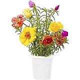 Click & Grow Moosrose Nachfüllpackung 3er-Pack für deinen smarten Kräutergarten