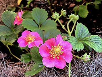 Amazon 15 lipstick pink flowering strawberry plant seeds 15 lipstick pink flowering strawberry plant seeds mightylinksfo
