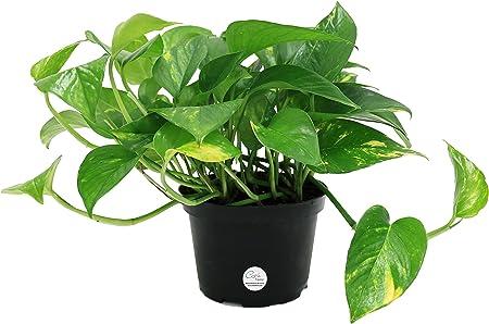 Amazon Com Costa Farms Easy Care Devil S Ivy Golden Pothos Live Indoor Plant 6 Inch Garden Outdoor