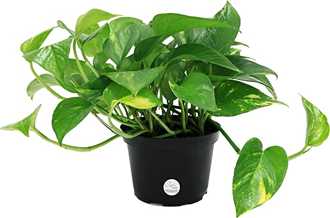 Amazon Com Costa Farms Golden Pothos Live Indoor Plant 12 Inches Tall Natural Air Purifier Easy Care Ships In Grow Pot Fresh From Our Farm Garden Outdoor