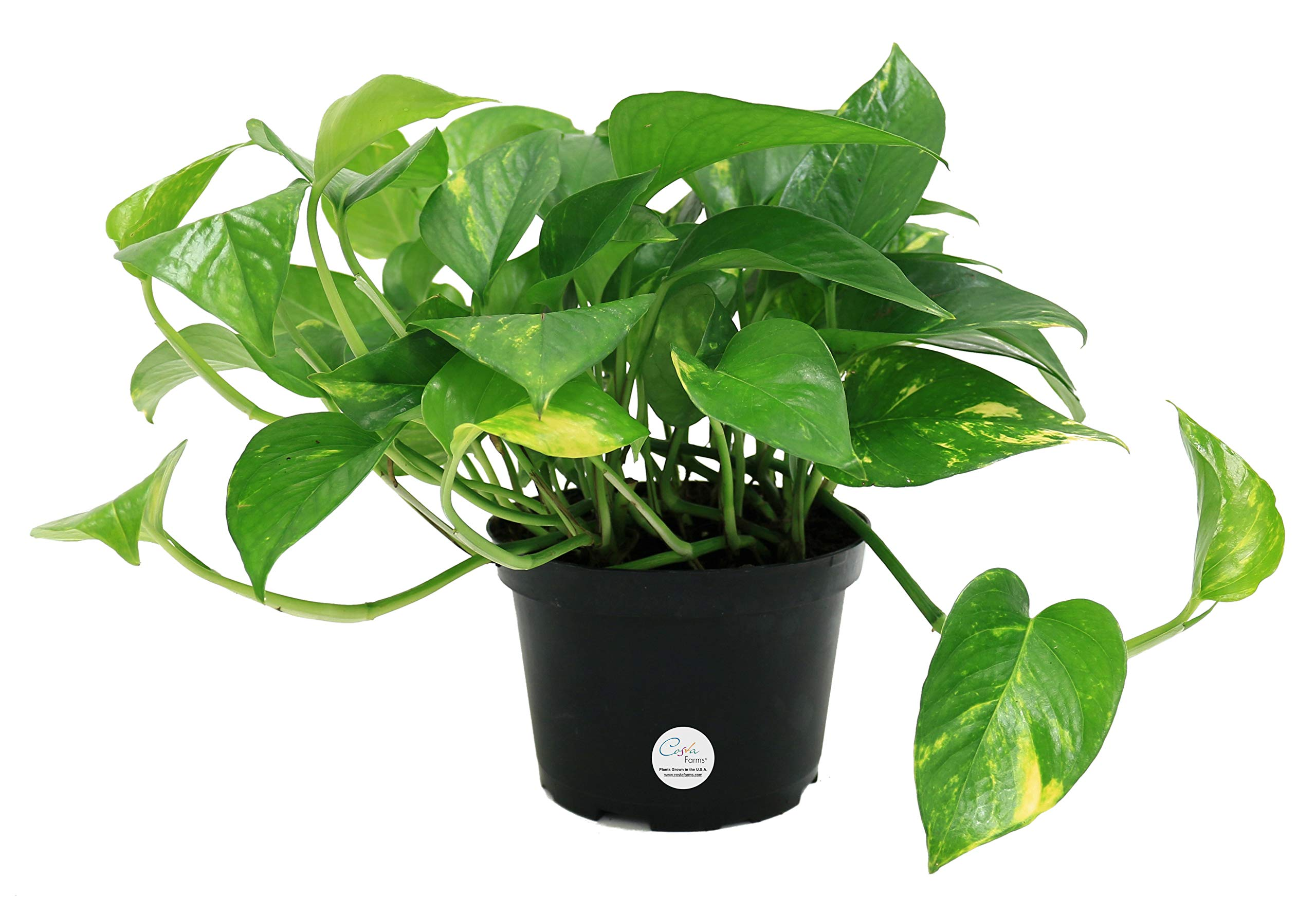 Costa Farms Golden Pothos Devil's Ivy Live Indoor Plant, 6-Inch, Ships in Grower's Pot