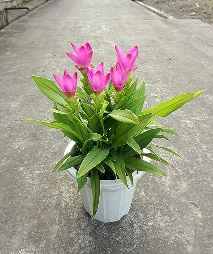 Amazon Com 1 Pink Curcuma Bulb Curcuma Ginger Bulb Summer