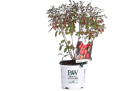 Amazon Com Big Lifeberry Goji Berry Lycium Purple Flowers And