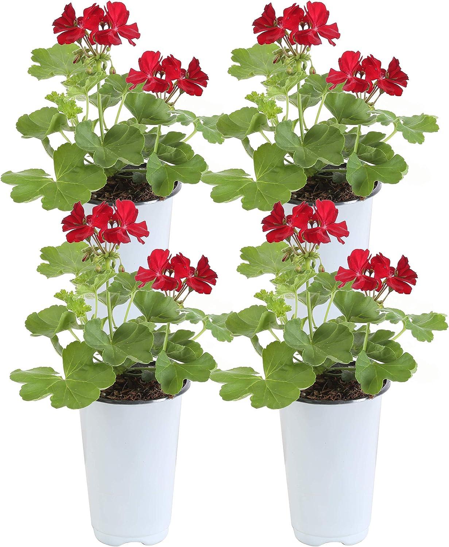 Amazon Com Costa Farms Live Geranium Outdoor Plant 1 Qt Grower Pot 4 Pack Red Flowers Garden Outdoor
