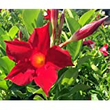 "Red Brazilian Jasmine Plant - Indoors/Out - Mandevilla - 4"" Pot"