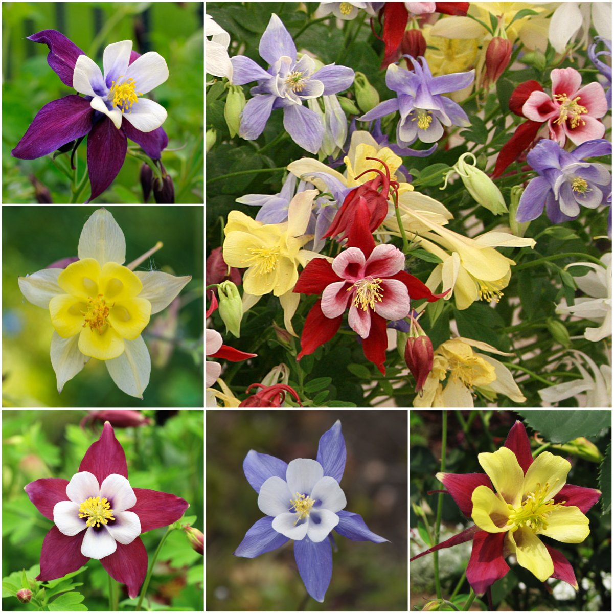 Amazon 100 flower seeds columbine giant star mix aquilegia amazon 100 flower seeds columbine giant star mix aquilegia caerulea seeds by seed needs columbine plants garden outdoor izmirmasajfo
