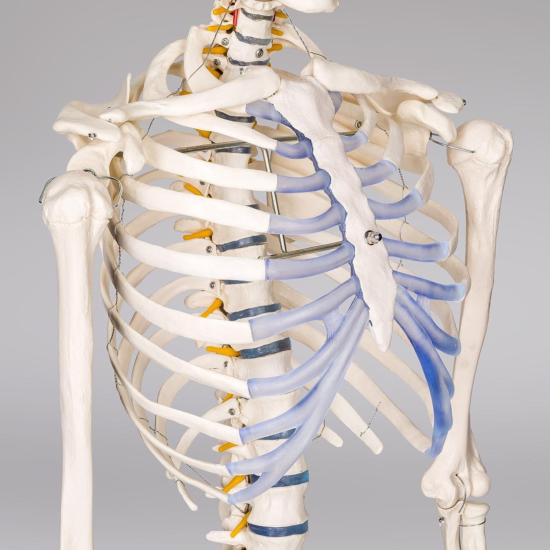 TecTake modelo médico anatómica esqueleto humano esquelético 181cm ...