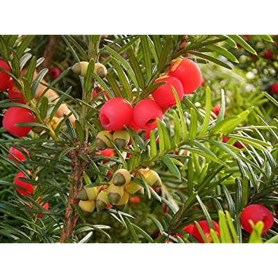 English Yew, Taxus Baccata, Tree Seeds (Evergreen, Topiary) 10 Seeds : Garden & Outdoor