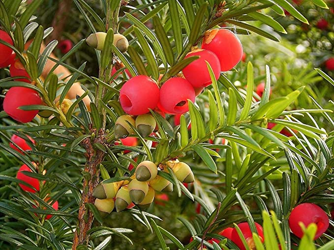 Amazoncom English Yew Taxus Baccata Tree Seeds Evergreen