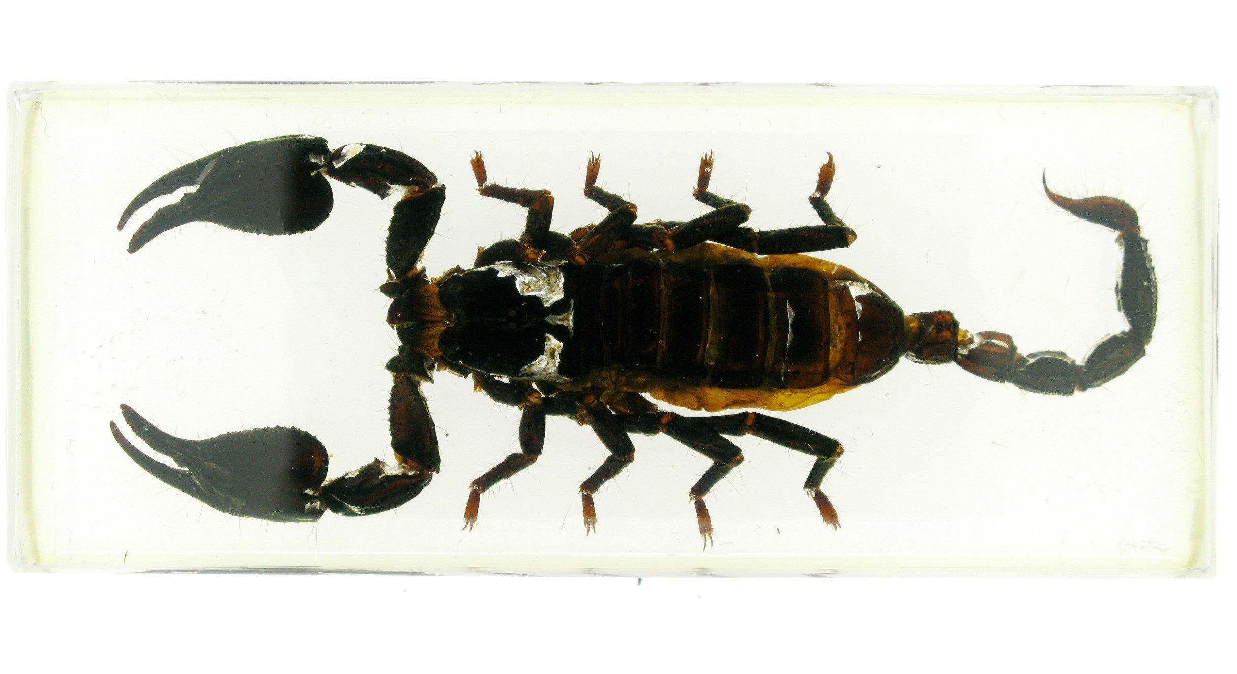 Black Scorpion in Acrylic BK3
