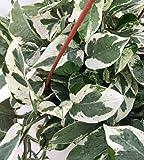 "Pearls & Jade Double Dip Devil's Ivy - Epipremnum aureum - 6"" Hanging Pot"