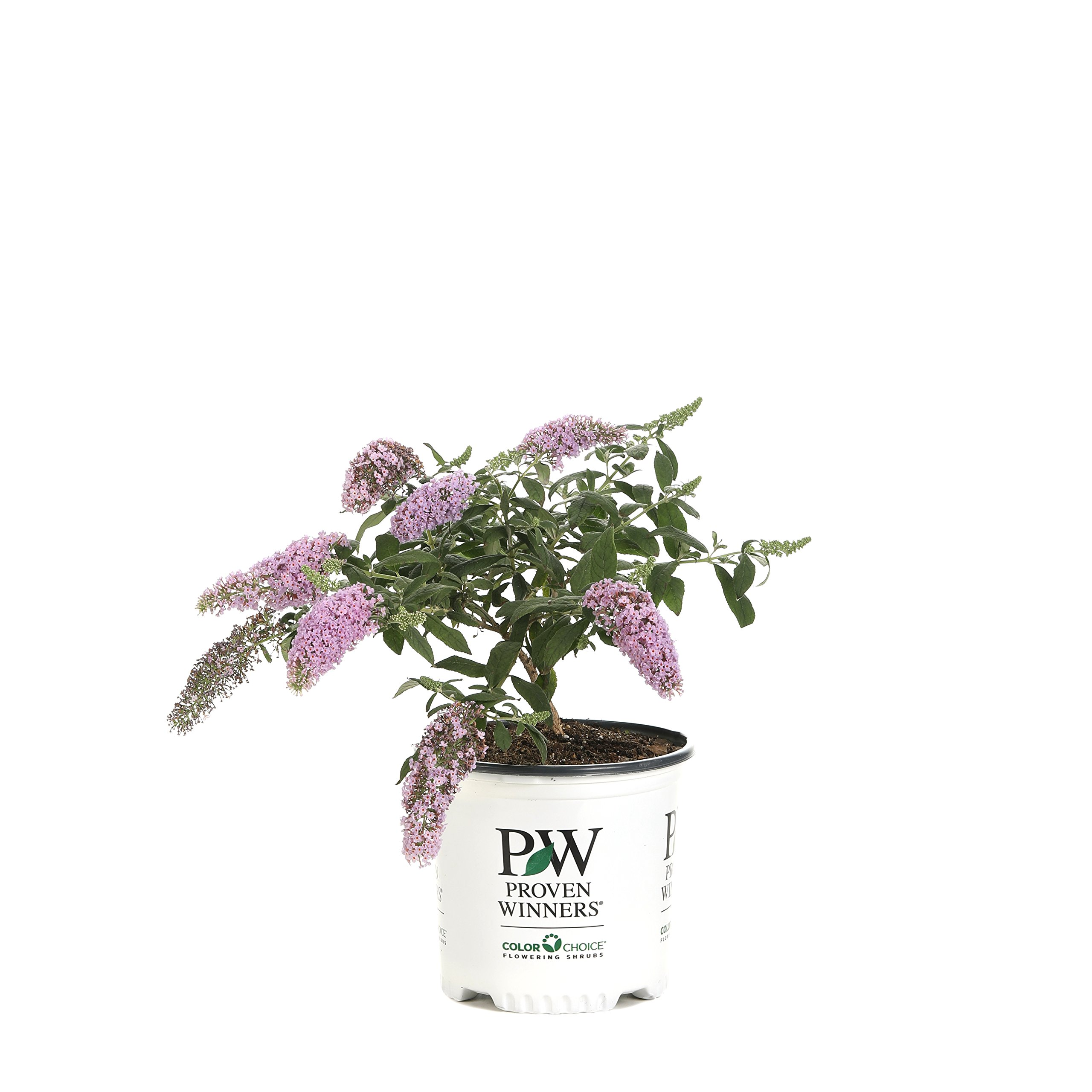 Pugster Pink Butterfly Bush (Buddleia) Live Shrub, Pink Flowers, 1 Gallon