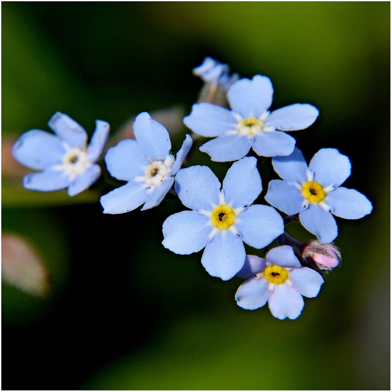 Amazoncom Seed Needs Blue Forget Me Not Myosotis Sylvatica 1