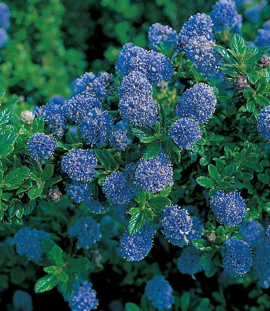 BALDUR Garten Immergrüne Säckelblume Blauer Ceanothus Blue Mound