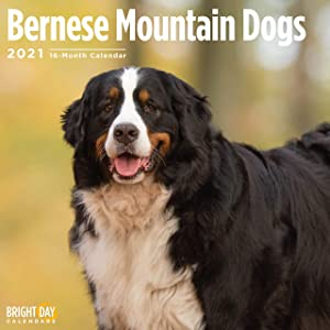 2021 Bernese Mountain Dogs Wall Calendar by Bright Day, 12 x 12 Inch, Cute Dog Puppy