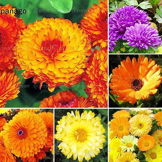 50pcs semillas de caléndula semillas de plantas de interior bonsai semillas de plantas ornamentales por semillas de flores jardín de DIY bonsai Inicio: Amazon.es: Jardín