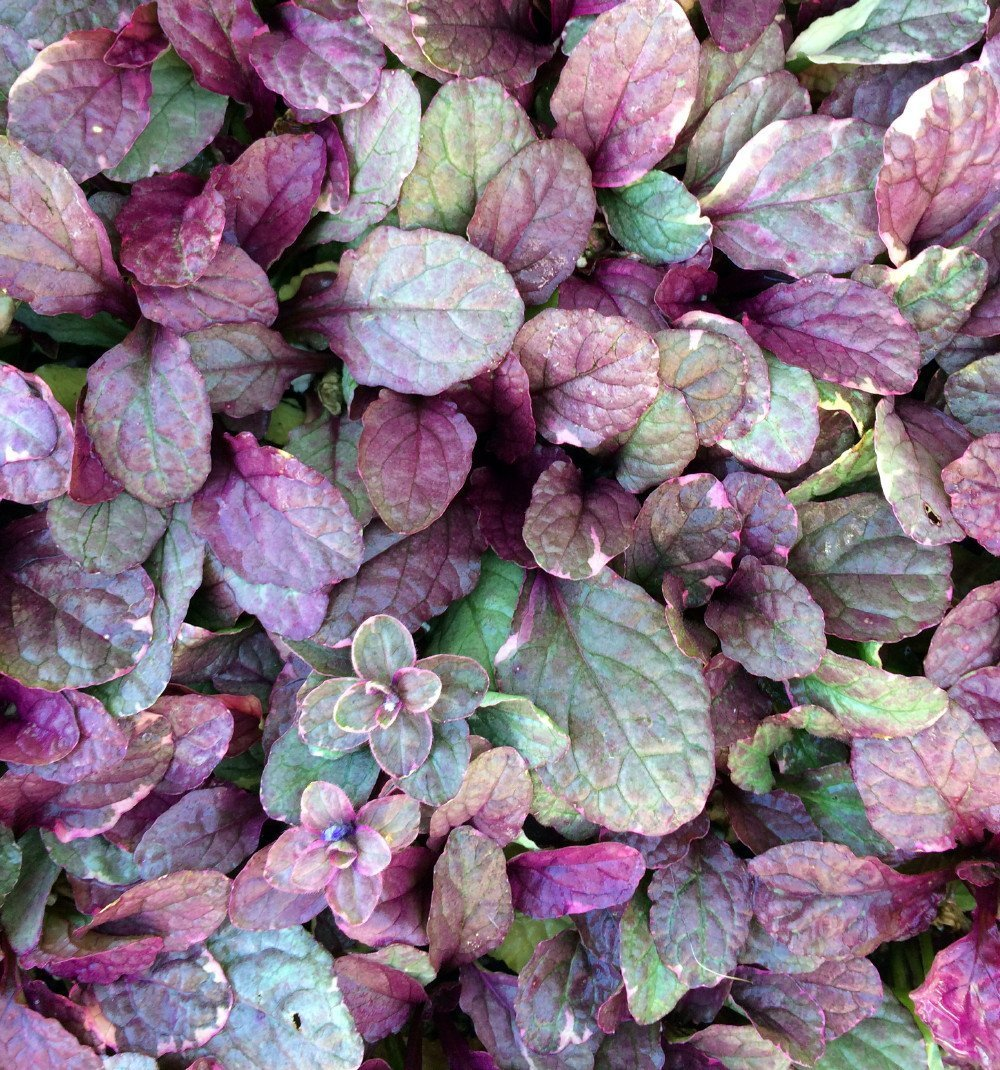 Burgundy Glow Ajuga 24 Plants - Carpet Bugle - Very Hardy -1 3/4'' Pots