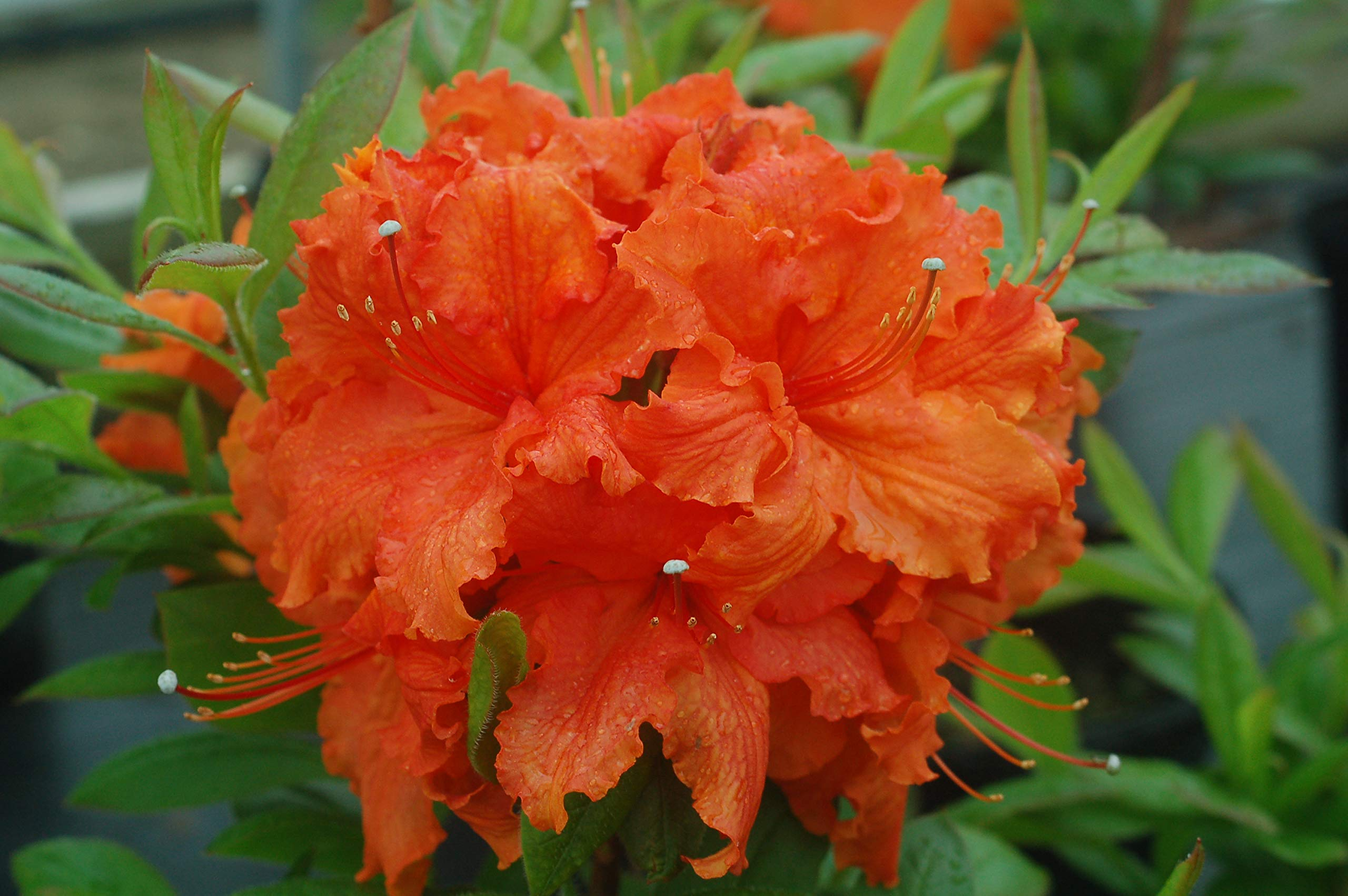 Azalea 'Gibraltar' (Exbury Azalea) Shrub, orange flowers, #2 - Size Container