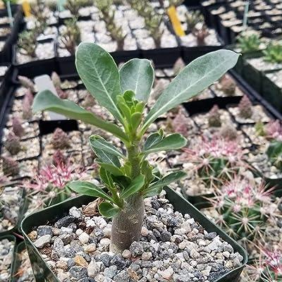 Adenium obesum JK Cactus Cacti Succulent Real Live Plant : Garden & Outdoor