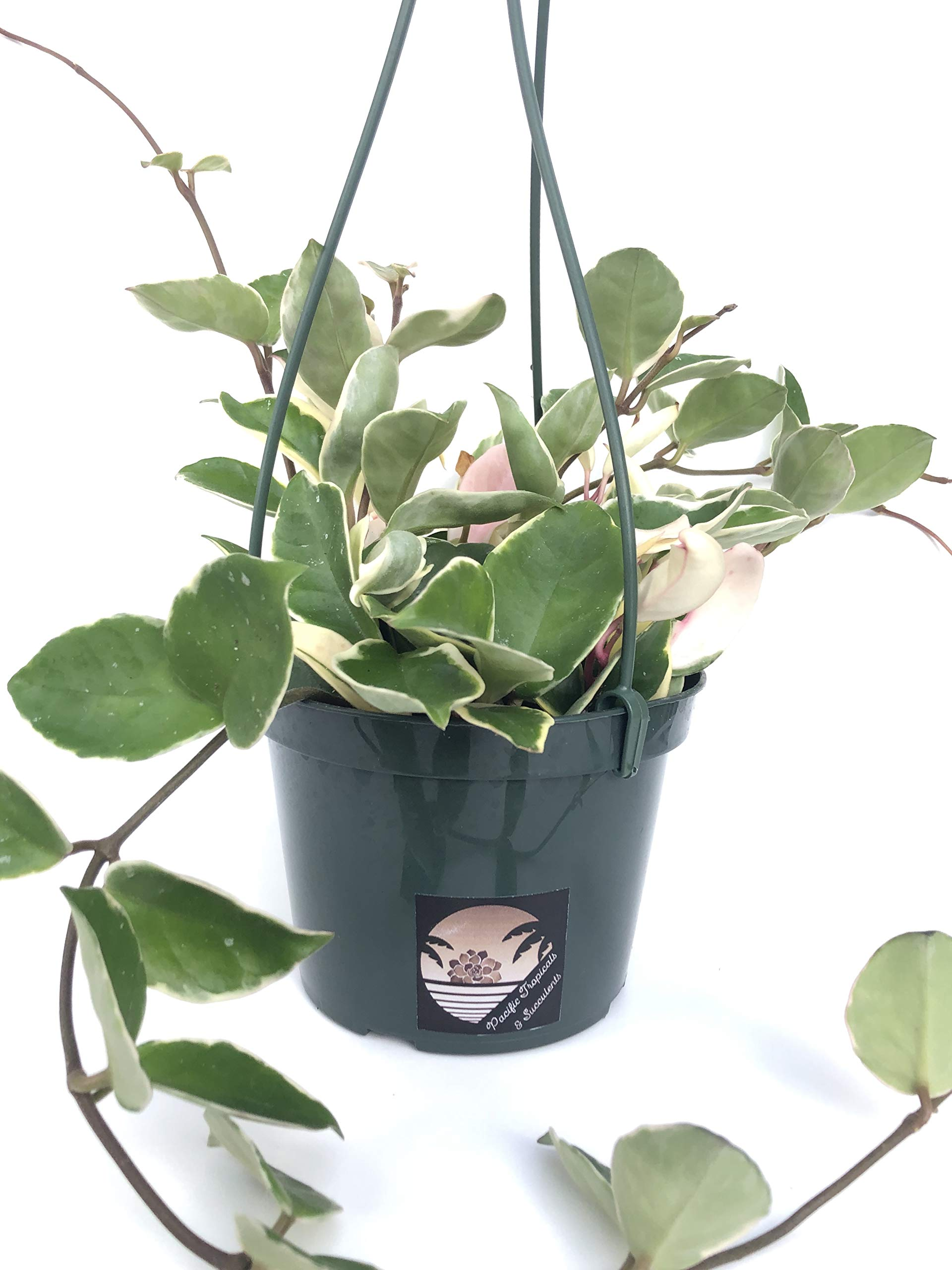 Pacific Tropicals &Succulents -Hoya Carnosa Tricolor -Live Indoor Plant-Ships in 6 inch Grow Pot-Homegrown