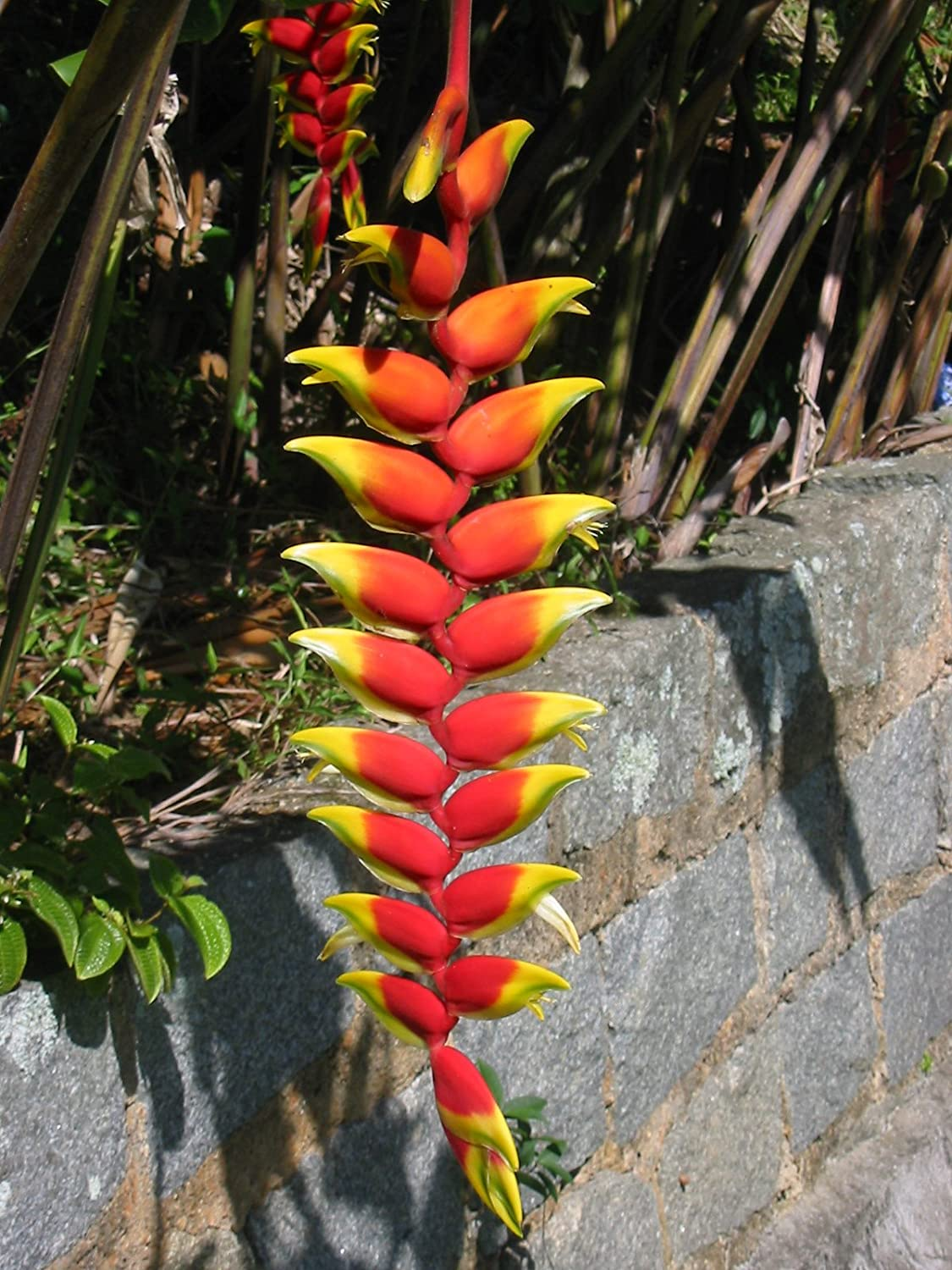 * Heliconia Rostrata * Lobster Claw * False Bird of Paradise * 5 RARE Seeds * Arvice seeds