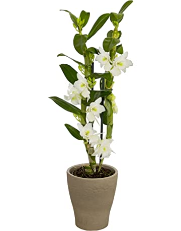 Amazon De Orchideen