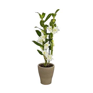 Dominik Blumen und Pflanzen, Asiatische Traubenorchidee, Dendrobium ...