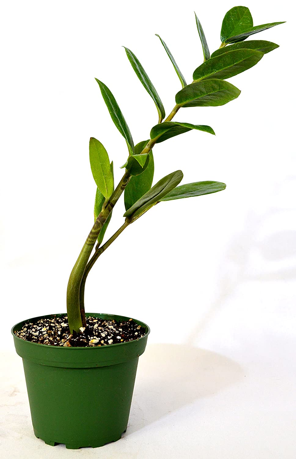 100 Zamioculcas Poisonous Plants For Dogs How To Grow
