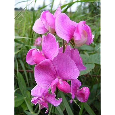Flower Seeds - 20 Seeds of Everlasting Pea, (Perennial Pea), Lathyrus latifolius (Showy) : Garden & Outdoor