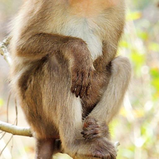 Macaque Monkey Wallpaper --  HD Wallpapers of Macaque Monkeys!