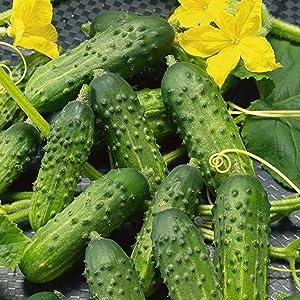 Organic Calypso Cucumber - 1 Gram ~25-35 Seeds - Non-GMO, Organic, Hybrid F1 - Farm & Garden Vegetable Gardening Seeds