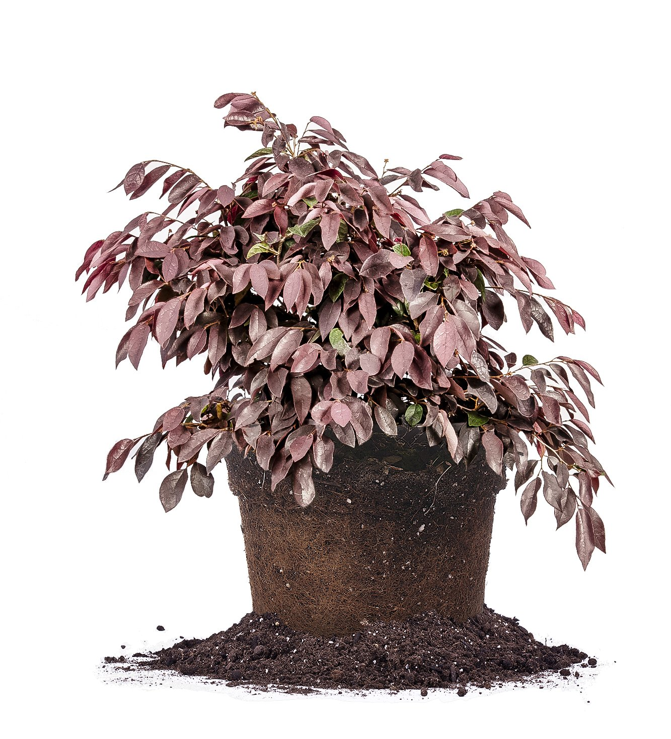 Zhuzhou LOROPETALUM - Size: 3 Gallon, Live Plant, Includes Special Blend Fertilizer & Planting Guide by PERFECT PLANTS