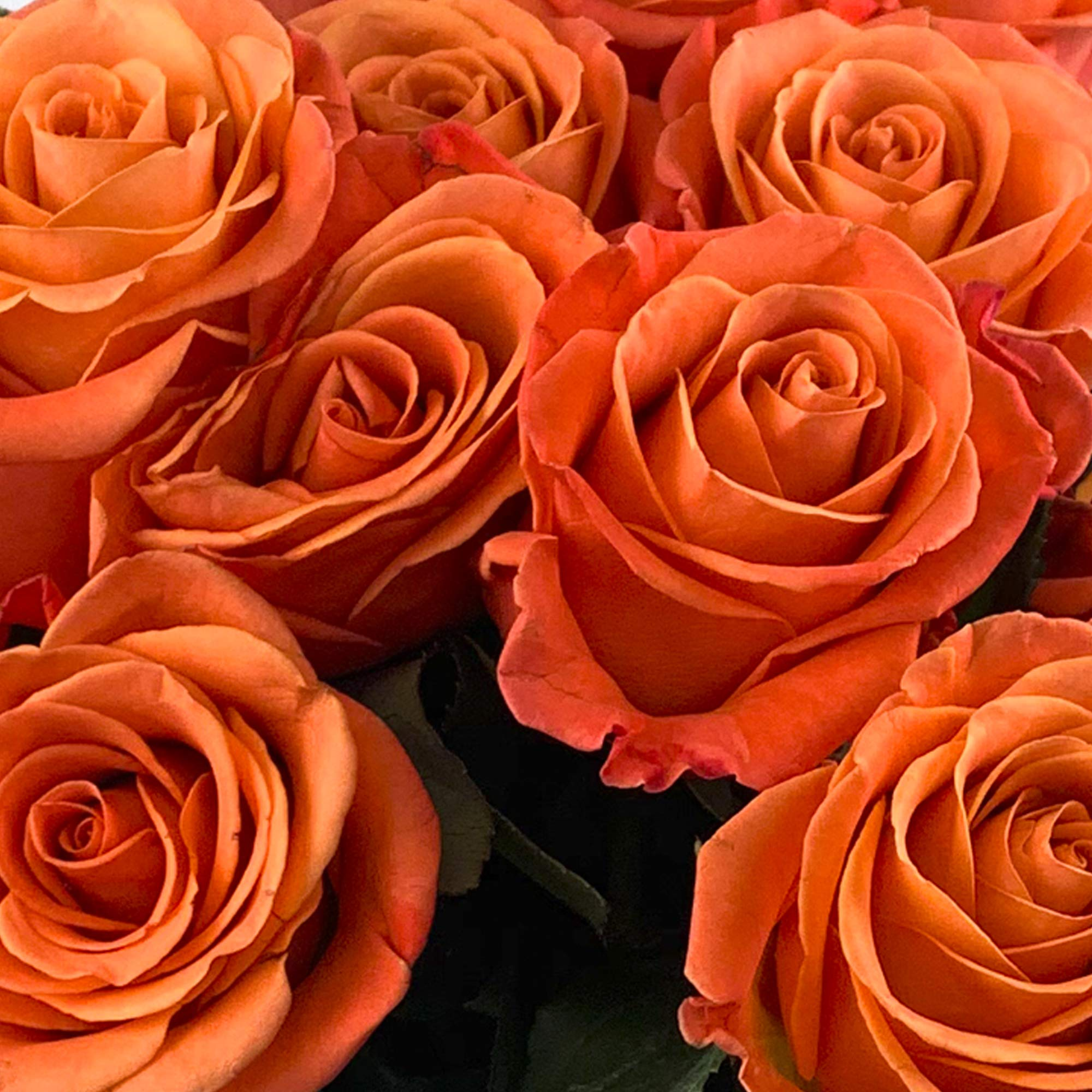 Green Choice Flowers - 24 (2 Dozen) Premium Orange Fresh Roses with 20 inch Long Stem Farm Fresh Flowers Beautiful Orange Rose Flower Cut Per Order Direct from Farm Free Fast Delivery Long Lasting by Greenchoiceflowers (Image #2)