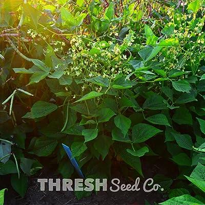 Mascotte Bean - 50 Seeds : Garden & Outdoor
