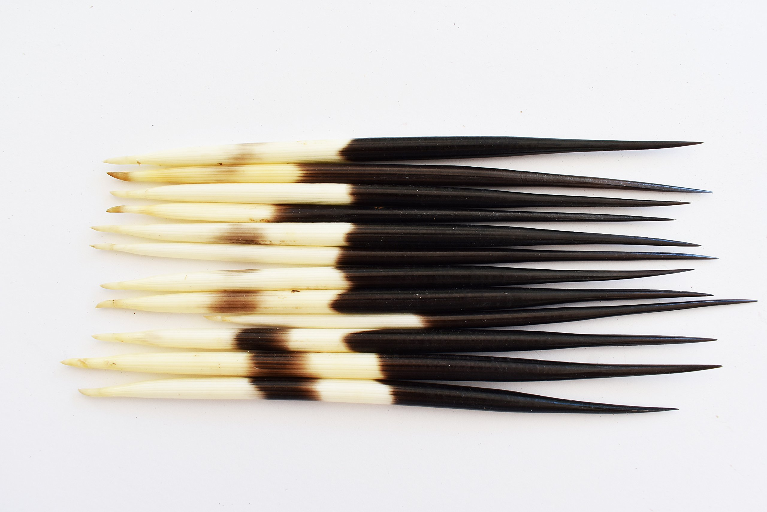 Florida Shells and Gifts Set of 24 African Porcupine Quills (5-7'') Handpicked Decor Hobby Indian Crafts Hair Sticks