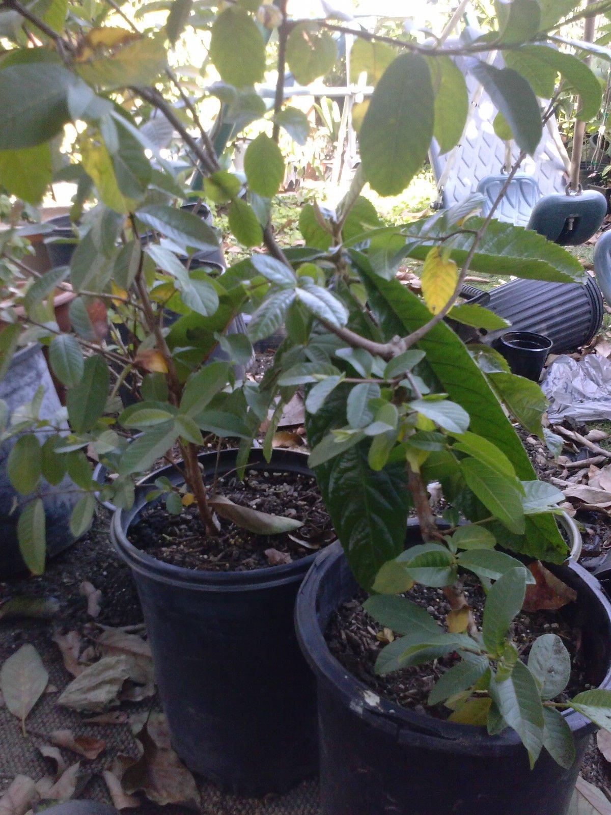 9EzTropical - Tropical Guava White Flesh - 2 to 3 Feet Tall - Ship in 1 Gal Pot