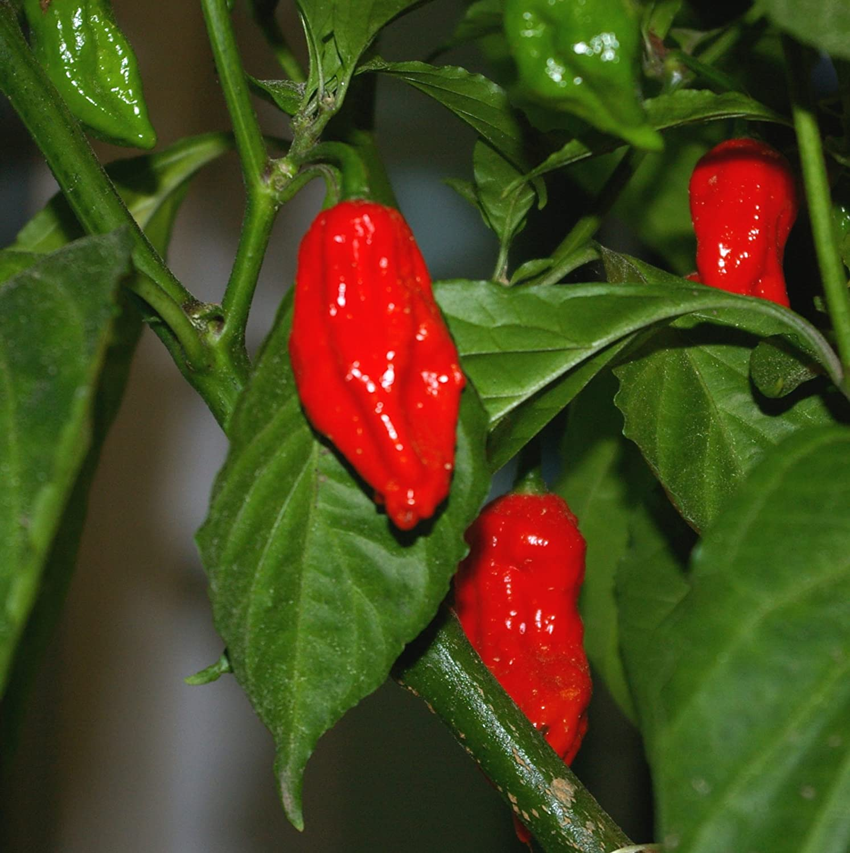 100 Komodo Dragon Seeds World Record Hot Pepper Seeds Garden Vegetable