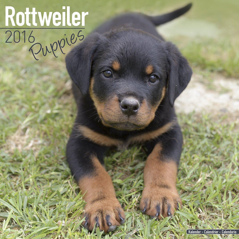 Rottweiler puppies calendar dog breed calendars 2017 2018 wall rottweiler puppies calendar dog breed calendars 2017 2018 wall calendars 16 month by avonside megacalendars 9781785801204 amazon books geenschuldenfo Choice Image