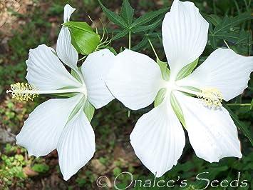 Amazoncom 10 Texas Star White Hibiscus Seeds H Coccineus Alba