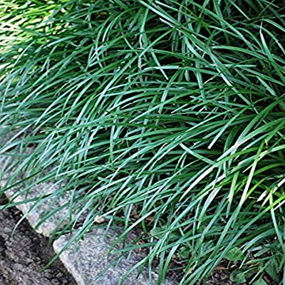 "Perennial Farm Marketplace Liriope spicata (Creeping Lilyturf) Ornamental Grass, 4"" Pot, Pale Lavender Flower Spikes: Garden & Outdoor"