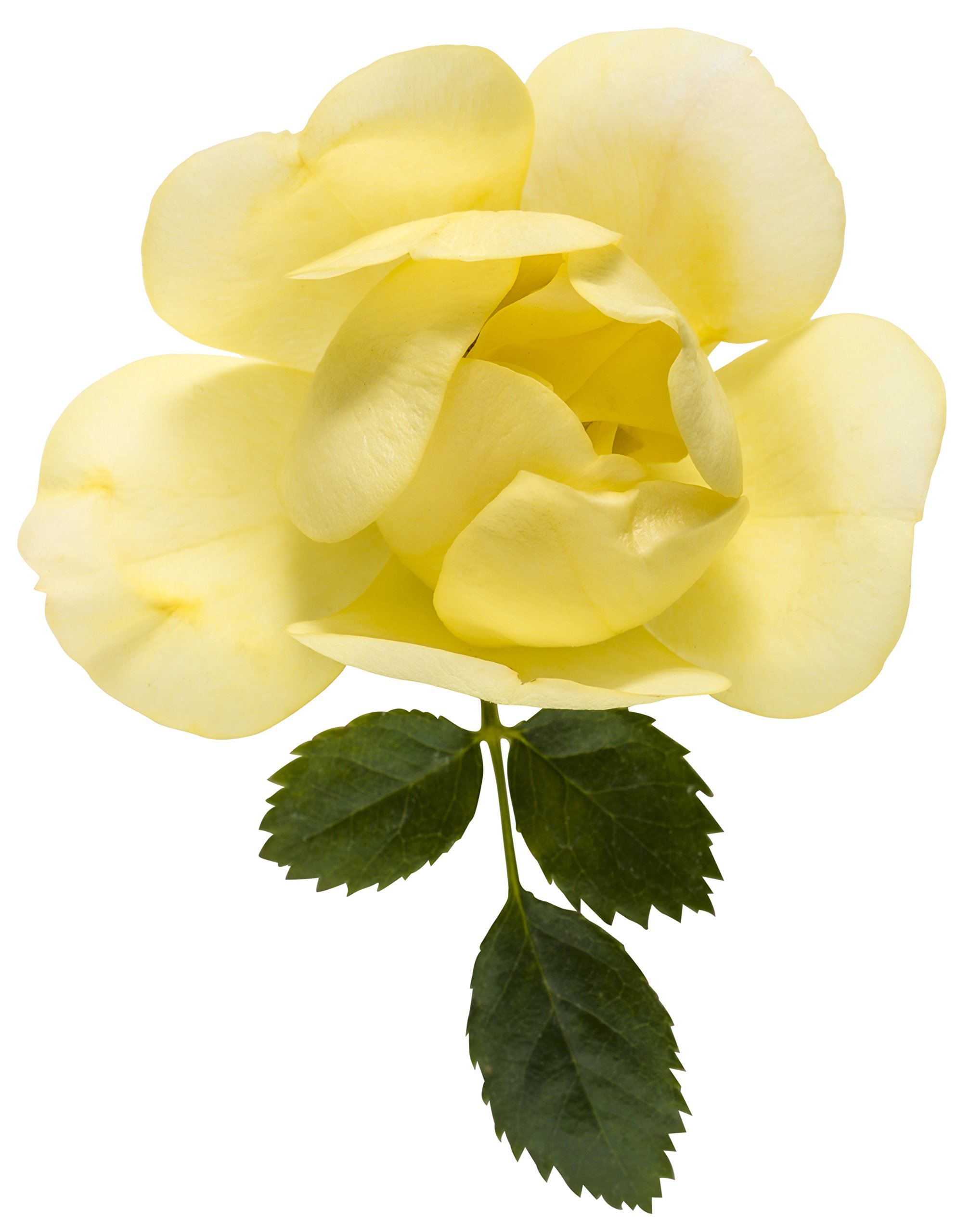 3 Gal. Oso Easy Lemon Zest Landscape Rose (Rosa) Live Shrub, Yellow Flowers by Proven Winners (Image #5)