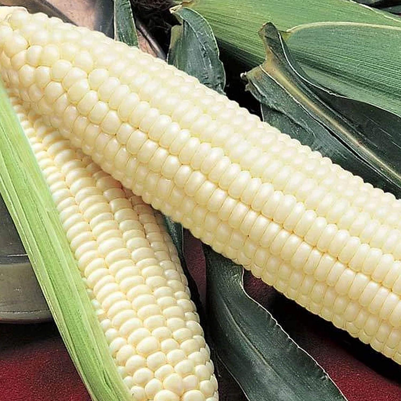 Silver Queen Hybrid Sweet Corn - 1/4 LB ~508 Seeds - Non-GMO, Hybrid, Vegetable Gardening Seeds