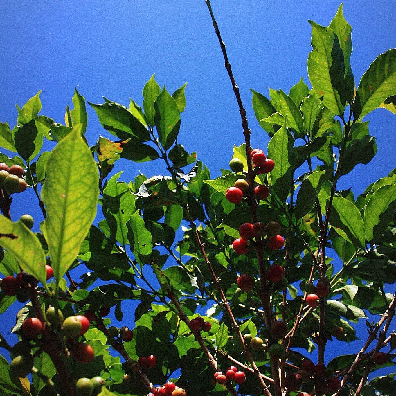 5 LBS Brazil Rancho Grande Unroasted Green Coffee Beans