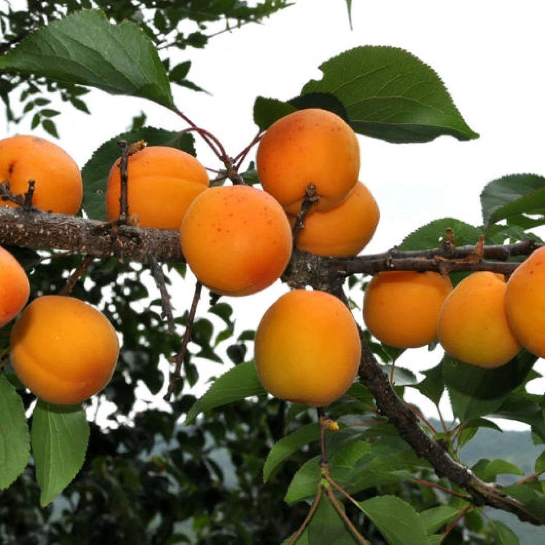 Mandshurian Apricot Prunus mandshurica 30 seeds