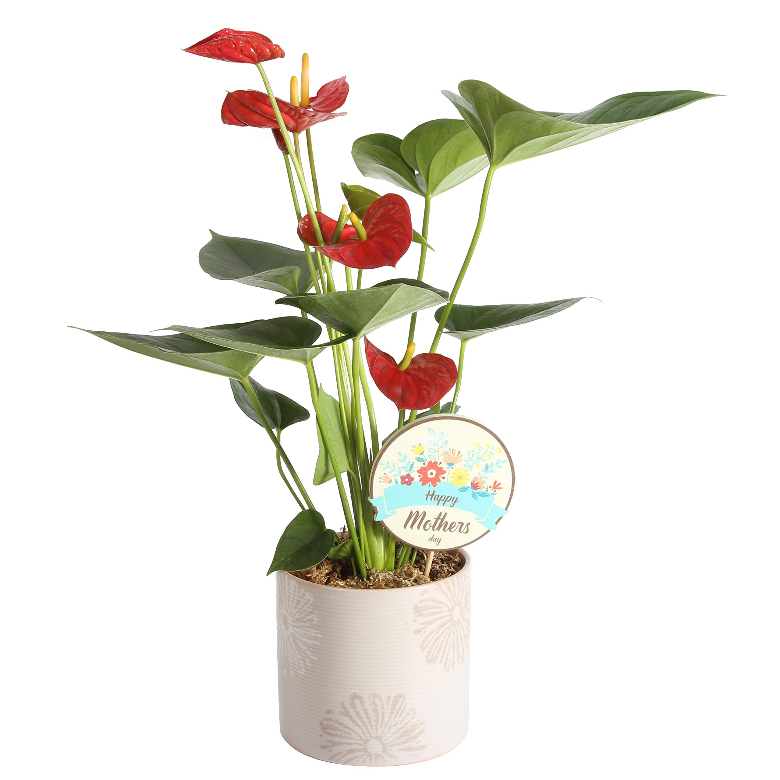 Costa Farms Live Anthurium Indoor Plant in in Premium Ceramic with Mother's Day Pick, 12-Inches Tall, as as Gift