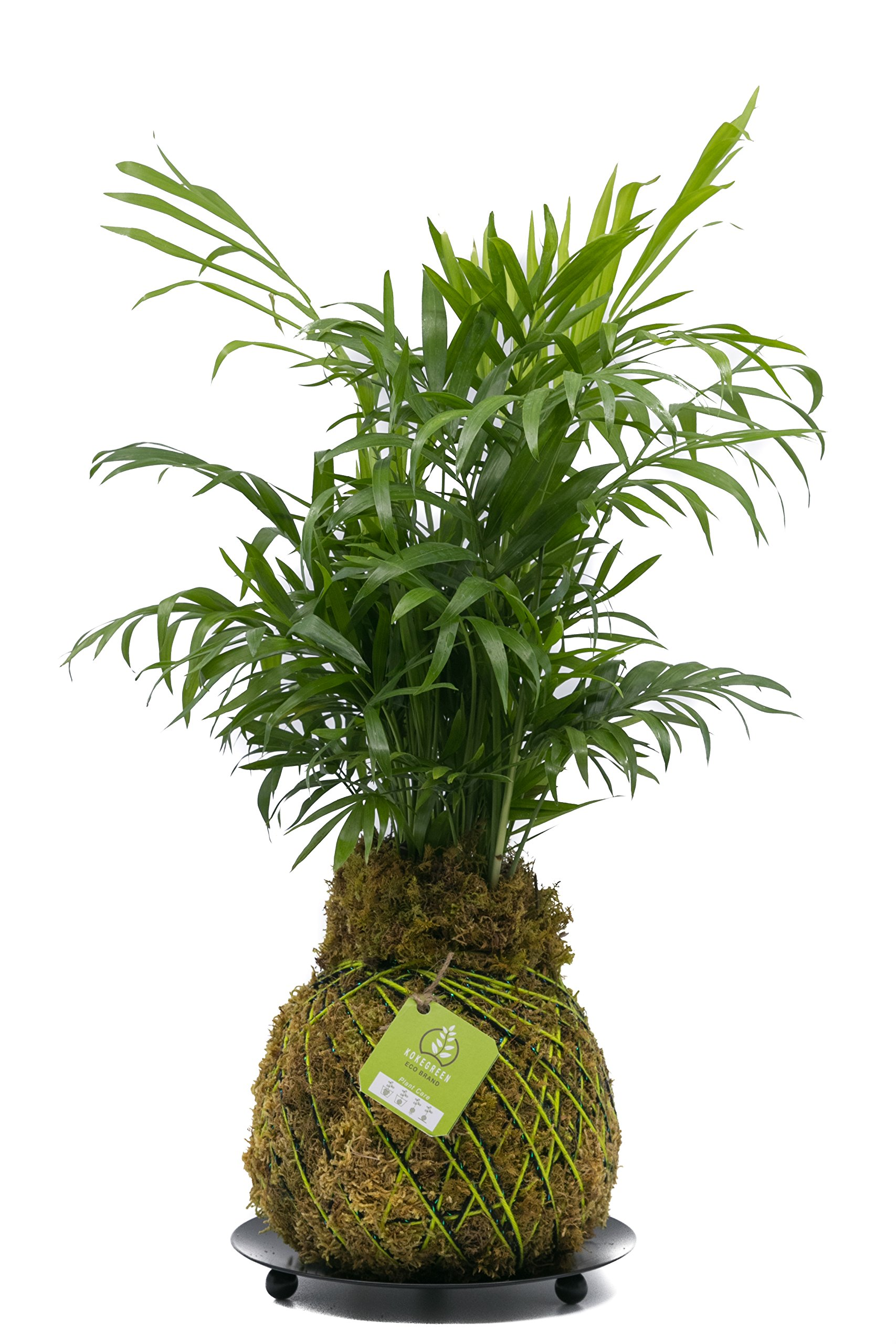 KOKEDAMA INDOOR PLANT (SHINE BLACK & GREEN), PURIFIER PLANT, NEATHE BELLA PALM, HOME DECOR, ECOLOGIC, NASA PLANT, JAPANESE TECHNIQUE