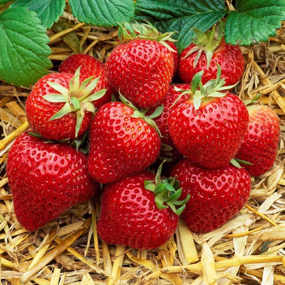 """Picture of 2 (TWO) Live Strawberry Eversweet Vegetables Plant Fit 4"""" Pot"""