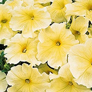 Petunia - Prism Sunshine Flower Garden Seed - 1000 Pelleted Seeds - Annual Flowers for Gardening - Single Grandiflora Petunias