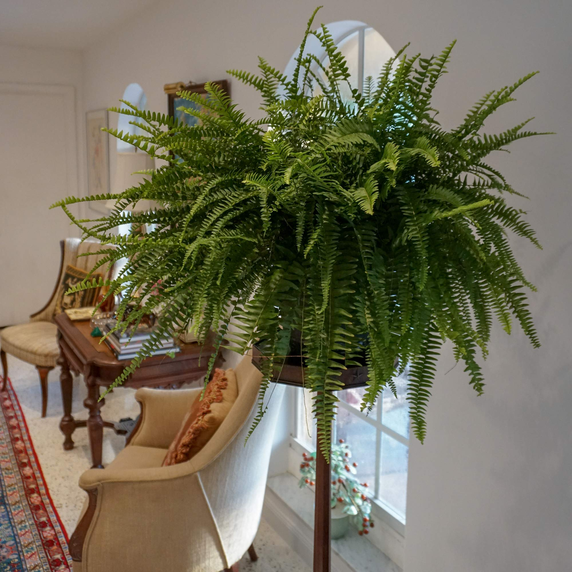 United Nursery Jumbo Boston Fern, Live Indoor and Outdoor Hanging Basket Plant. 42 to 44 Inches Shipping Size. Shipped Fresh from Our Florida Farm by United Nursery (Image #3)